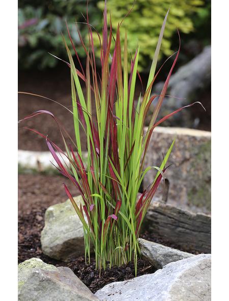 Japanisches Blutgras cylindrica Imperata »Red Baron«