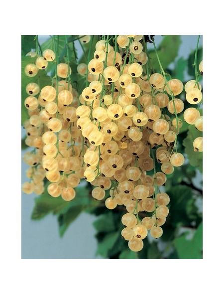GARTENKRONE Johannisbeere, Ribes rubrum »Weisse Versailler«, Früchte: weiß, essbar