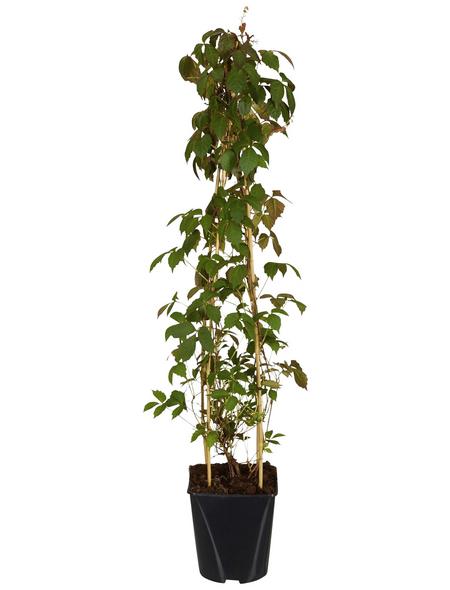 GARTENKRONE Jungfernrebe Parthenocissus tricuspidata »Veitchii«