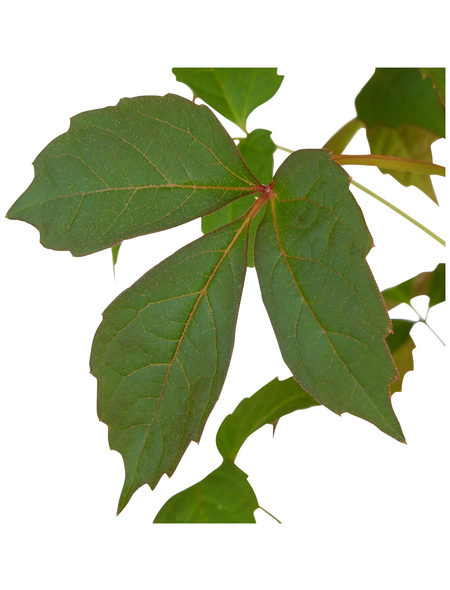 GARTENKRONE Jungfernrebe, Parthenocissus tricuspidata »Veitchii«, creme, winterhart