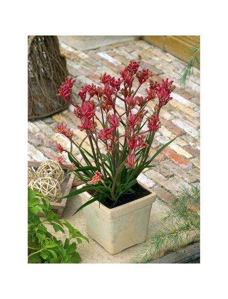 GARTENKRONE Känguru-Blume »Anigozanthos Hybrid«, Rot