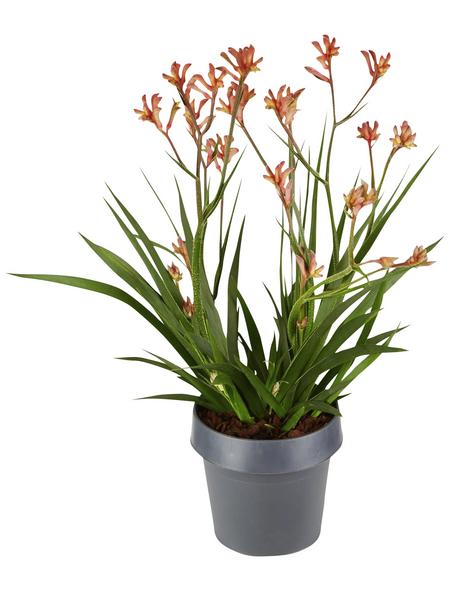 GARTENKRONE Känguruhpfote, Anigozanthos hybrid »Flavida«, Blüte: rot