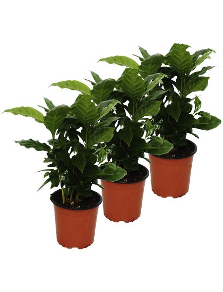Kaffeepflanze 3er Set Coffea arabica