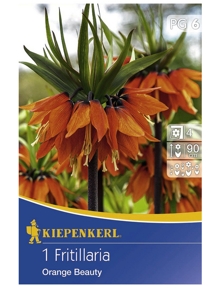 KIEPENKERL Kaiserkrone imperialis Fritillaria