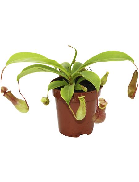 Kannenpflanze Nepenthes