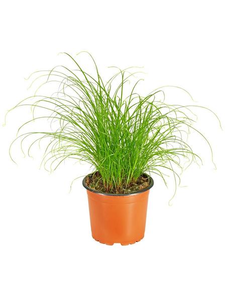 GARTENKRONE Katzengras Cyperus zumula
