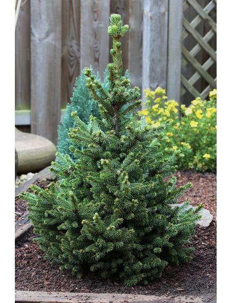 Kegel-Fichte Picea abies »Will's Zwerg«