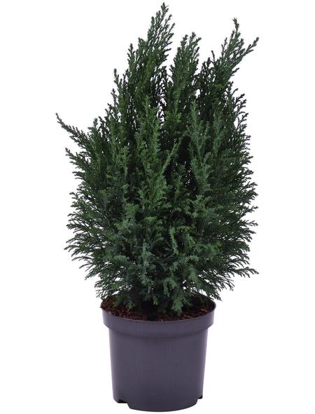 GARTENKRONE Kegelzypresse lawsoniana Chamaecyparis »Ellwoodii«