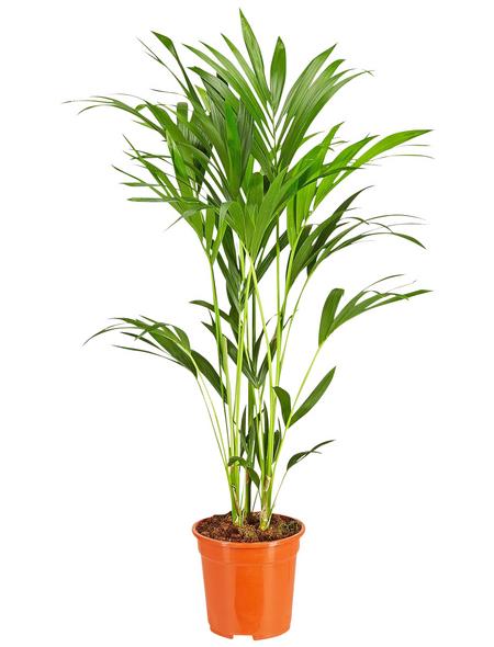 GARTENKRONE Kentiapalme, Howea Forsteriana, Topf-Ø: 21cm