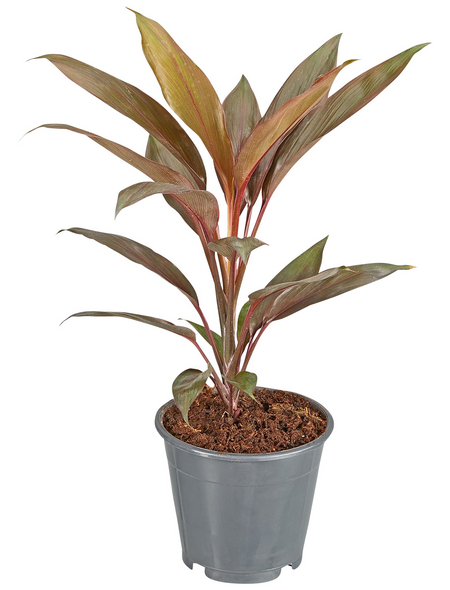 GARTENKRONE Keulenlilie Cordyline hybrid