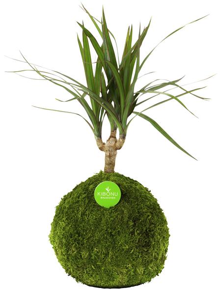 KIBONU Kibonu Drachenbaum, Dracaena marginata »Dracaena Marginata«,