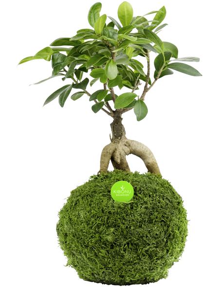 KIBONU Kibonu Ginseng Ficus ginseng