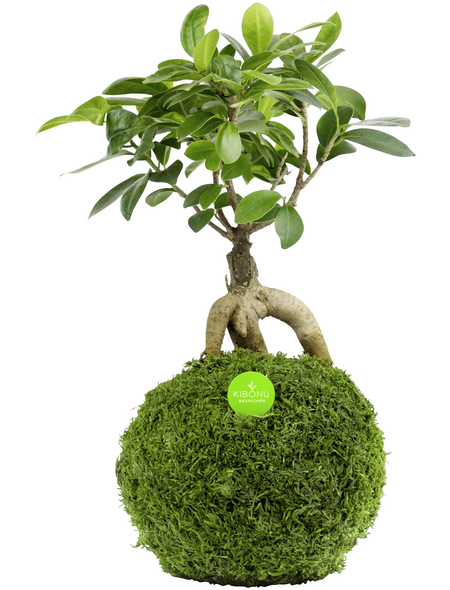 KIBONU Kibonu Ginseng, Ficus ginseng »Ficus Ginseng«,