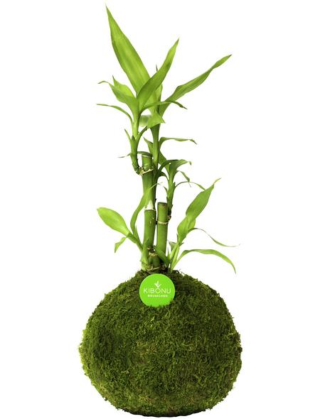 KIBONU Kibonu Glücksbambus, Lucky bamboo »Lucky Bmboo«,