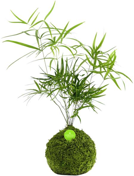 KIBONU Kibonu Sichelblägttriger Zierspargel, Asparagus falcatus »Asparagus Falcatus«,