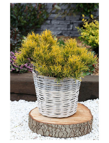 Kiefer mugo Pinus »Carstens Wintergold «
