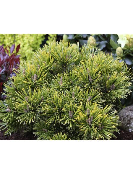 Kiefer mugo Pinus »Wintergold«