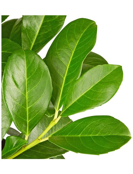 GARTENKRONE Kirschlorbeer Prunus laurocerasus »Etna -R-«