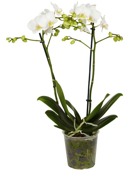 GARTENKRONE Kleinblumige Schmetterlingsorchidee, Phalaenopsis Hybride, Blüte: weiß, im Topf