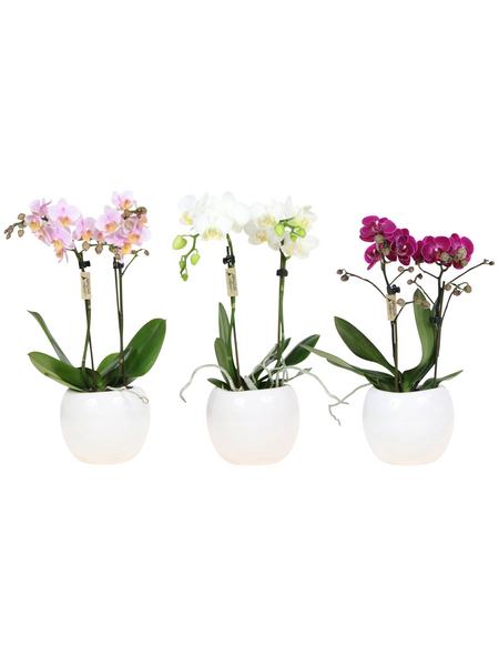 Kleinblumige Schmetterlingsorchidee, Phalaenopsis Hybriden, Blüte: gemischt