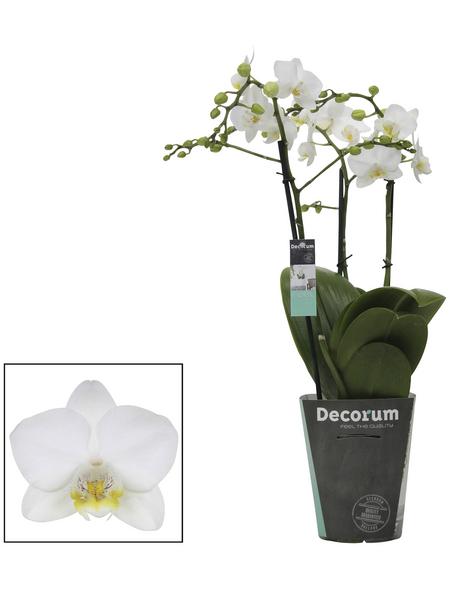 Kleinblumige Schmetterlingsorchidee, Phalaenopsis multiflora, Blüte: weiß