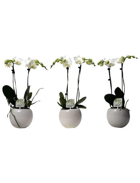 Kleinblumige Schmetterlingsorchidee, Phalaenopsis multiflora »Kolibri«, Blüte: weiß