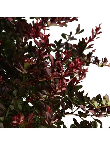 GARTENKRONE Kleine Blutberberitze, Berberis thunbergii »Atropurpurea Nana«, gelb, winterhart