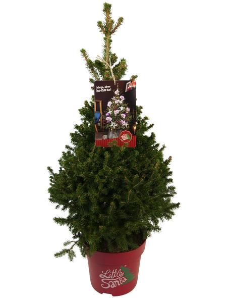 Kleine Fichte abies Picea »Little Santa«