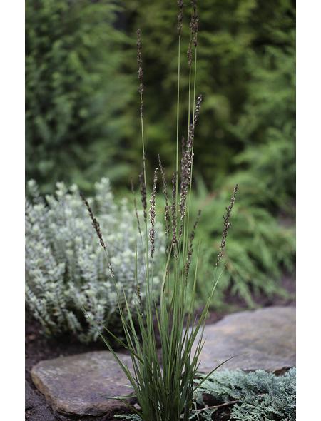 Kleines Garten-Pfeifengras caerulea Molinia »Heidezwerg«