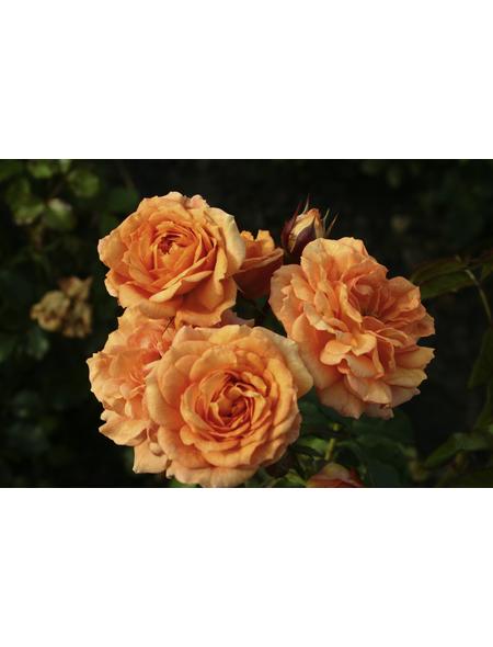 KORDES ROSEN Kleinstrauchrose Rosa  »Bentheimer Gold®«