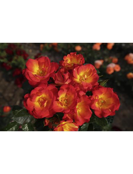 KORDES ROSEN Kleinstrauchrose Rosa  »Summer of Love®«