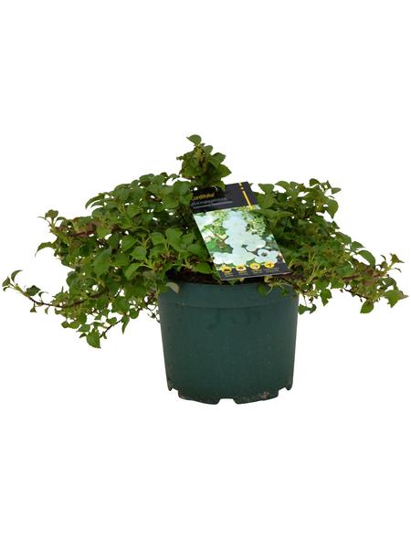 Kletter-Hortensie Hydrangea petiolaris 'Cordifolia' Hydrangea »Cordifolia«
