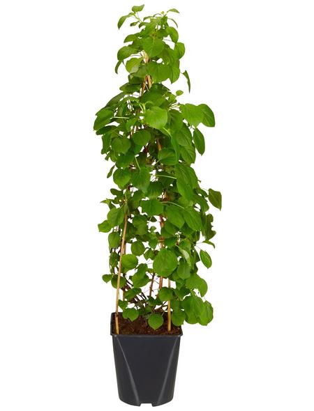 GARTENKRONE Kletterhortensie, Hydrangea petiolaris, creme, winterhart