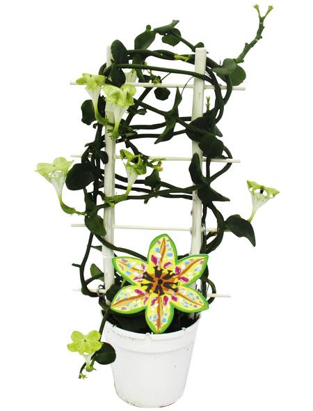 EXOTENHERZ Kletternde Leuchterblume, Ceropegia sandersonii, Blütenfarbe: grün