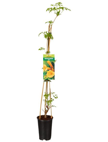 GARTENKRONE Kletterpflanze »Campsis Flava«