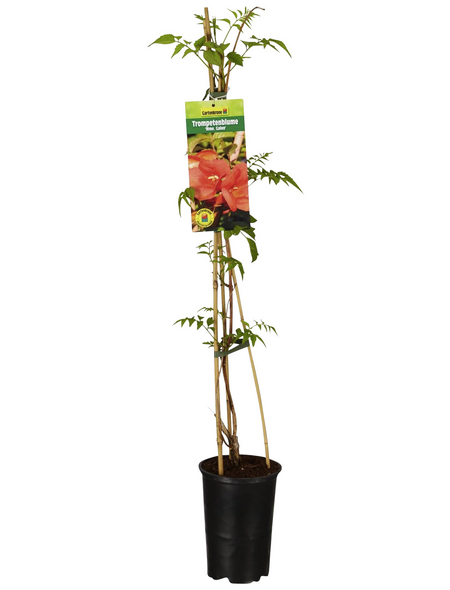 GARTENKRONE Kletterpflanze »Campsis Mme Galen«