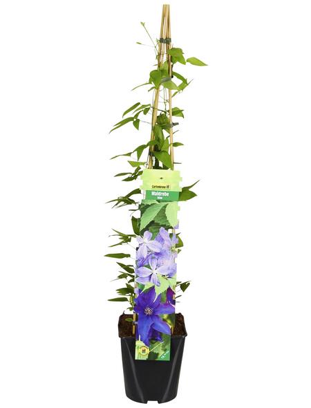 GARTENKRONE Kletterpflanze »Clematis«