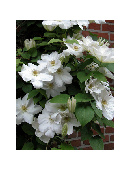 GARTENKRONE Kletterpflanze »Clematis Madame Le Coultre«