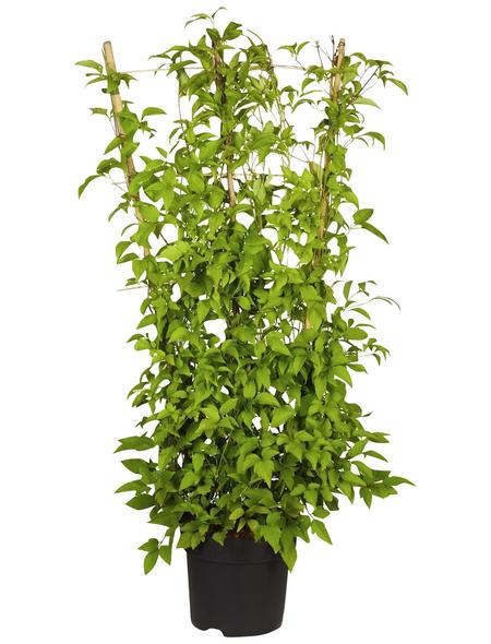 GARTENKRONE Kletterpflanze »Clematis montana«