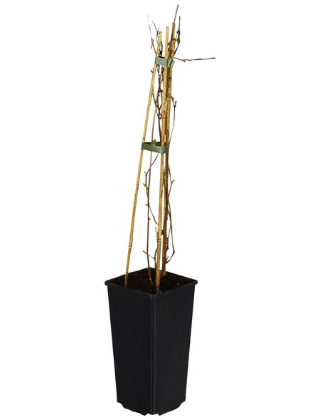 GARTENKRONE Kletterpflanze »Kiwi«, Weiß