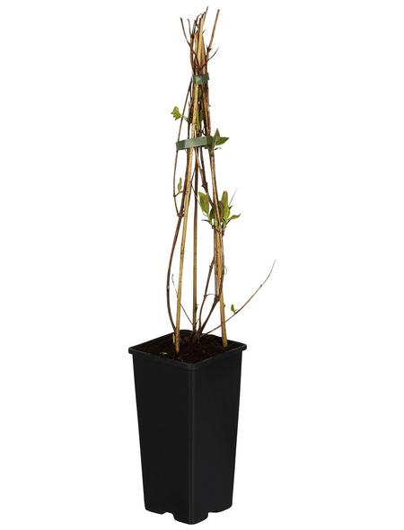GARTENKRONE Kletterpflanze »Lonicera heck. American Beau«