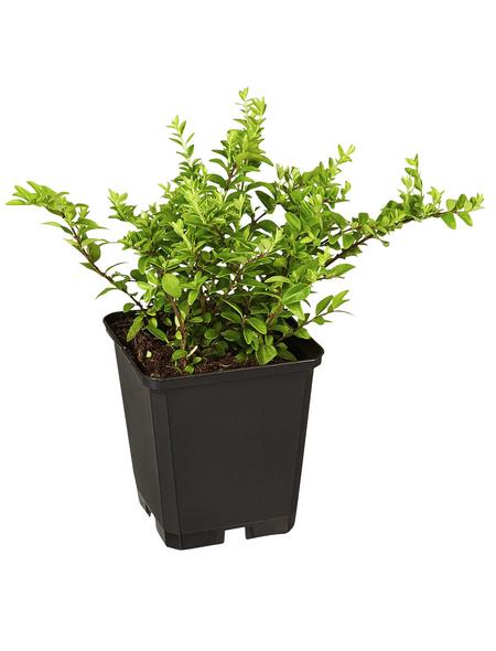 GARTENKRONE Kletterpflanze »Lonicera Nitida Maigrün«