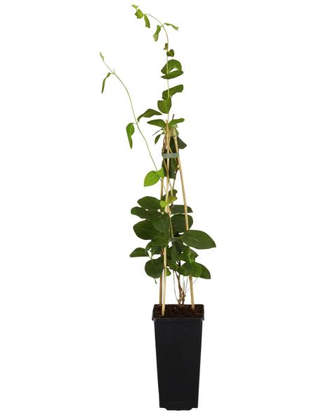 GARTENKRONE Kletterpflanze »Lonicera tellmaniana«