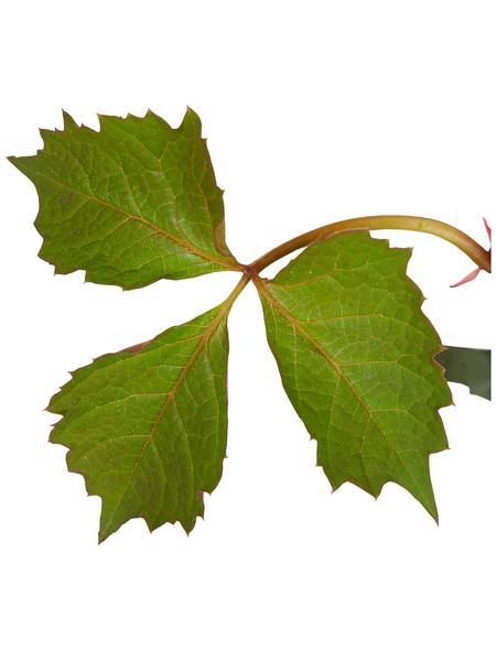 GARTENKRONE Kletterpflanze »Parthe. tri Veitchii Robusta«