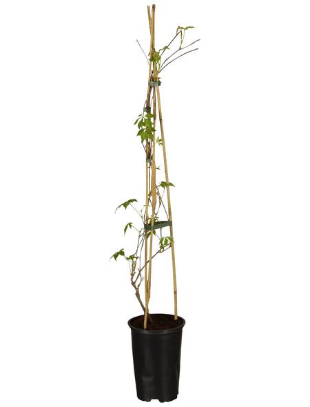 GARTENKRONE Kletterpflanze »Parthenocissus Engelmanii«