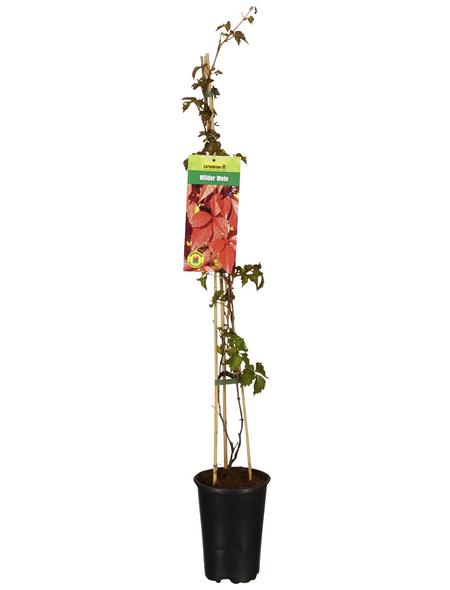 GARTENKRONE Kletterpflanze »Parthenocissus quinquefolia«