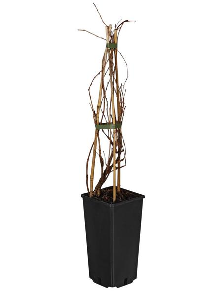 GARTENKRONE Kletterpflanze »Parthenocissus tricuspidata«