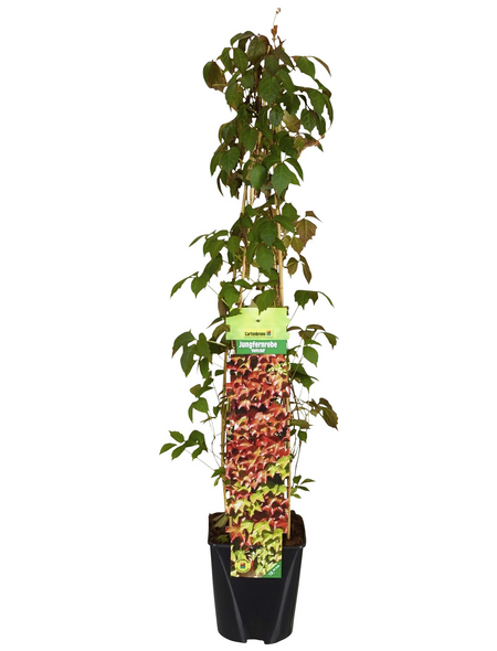 GARTENKRONE Kletterpflanze »Parthenocissus Veitchii«