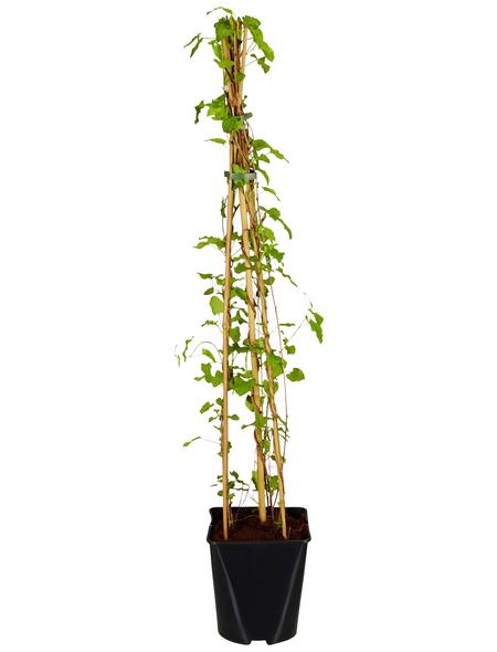GARTENKRONE Kletterpflanze »Polygonum aubertii«