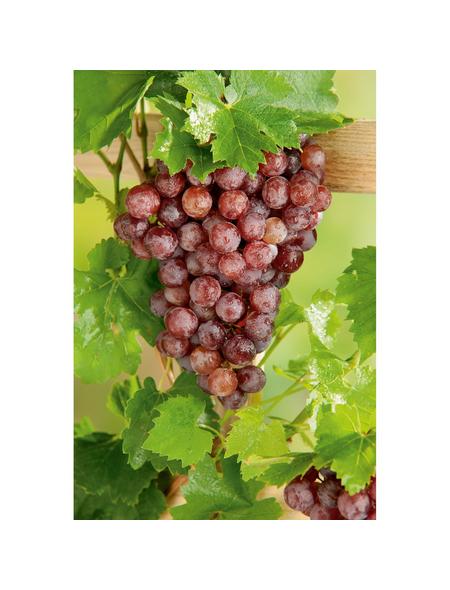 GARTENKRONE Kletterpflanze »Weinrebe«, Creme